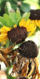 kissing sunflower
