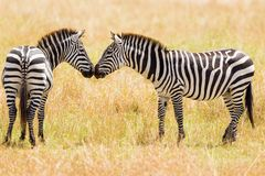 Kissing Zebras
