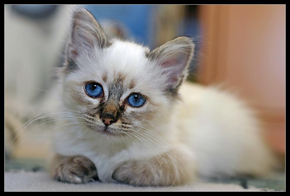 Kitten Blue Eye II