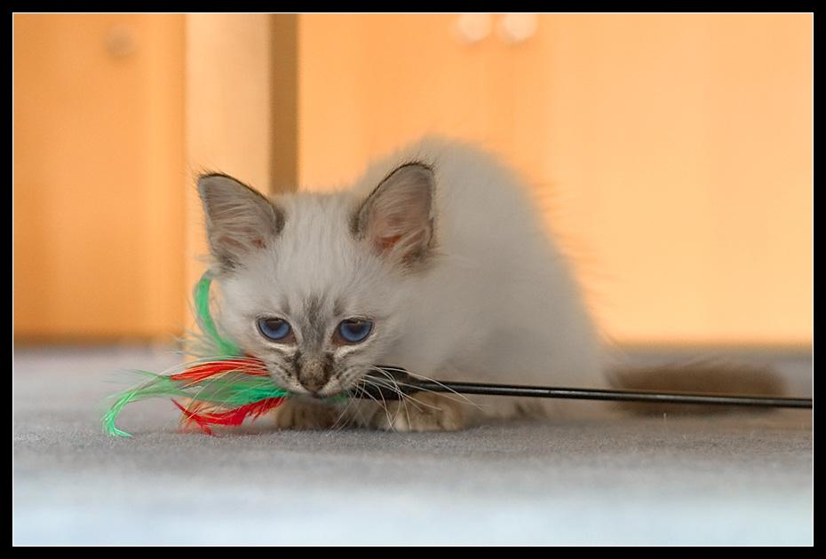 """Kitten Blue Eye III - oder: """"Rrrrgn, wann gibt's *essen*?"""""""