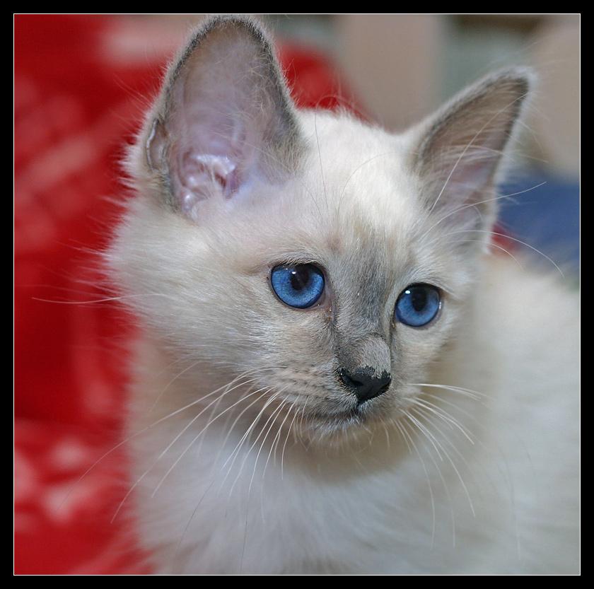 Kitten Blue Eye - The next Generation