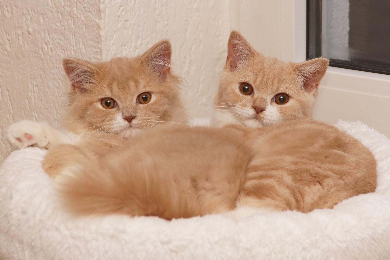 Kitten from Gloryhill