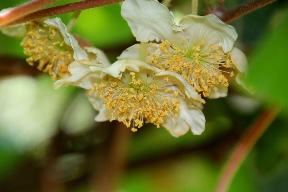 KIWI Blüten