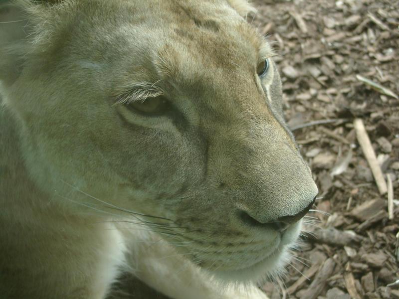 Kiwi Lion