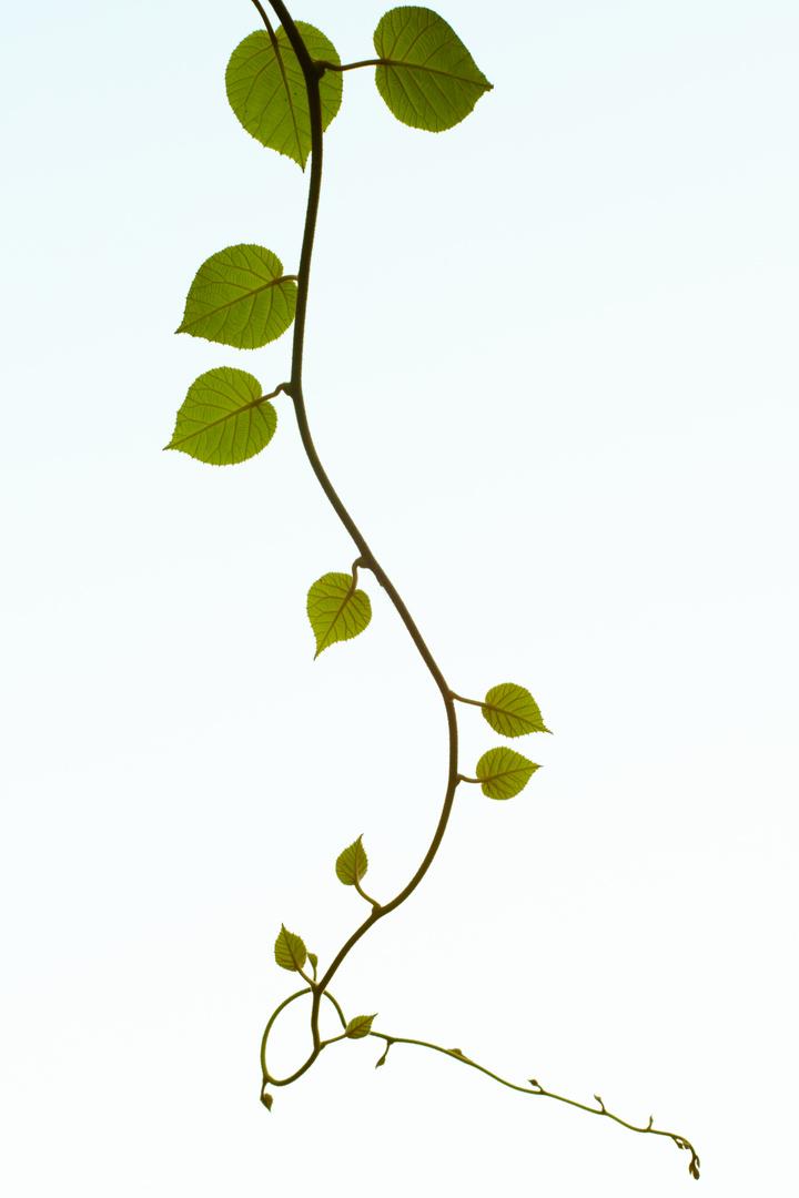 Kiwipflanze
