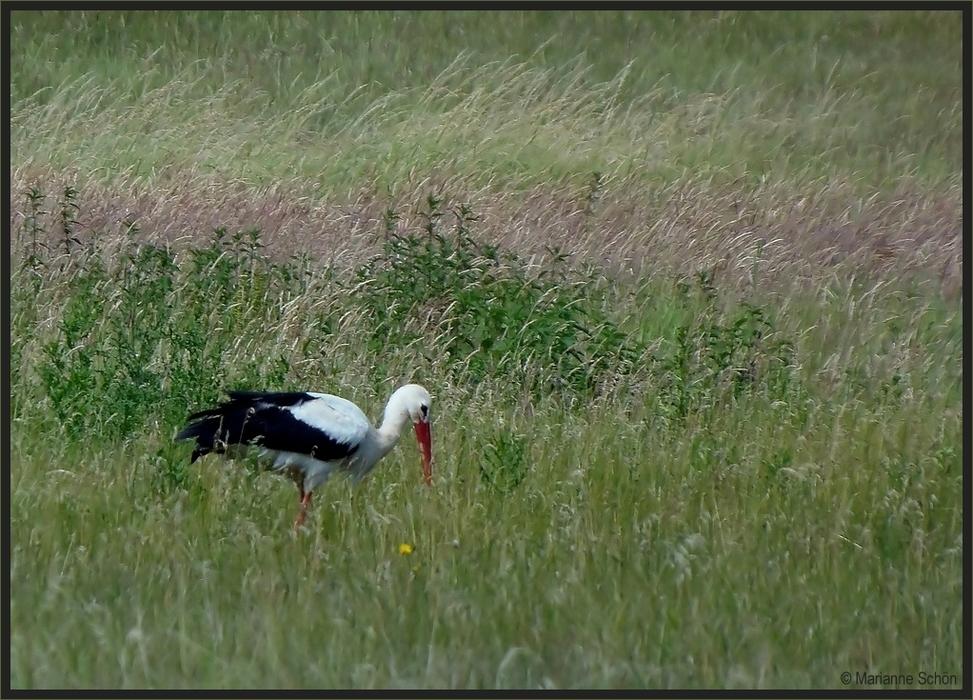 klapperstorch foto  bild  tiere wildlife wild