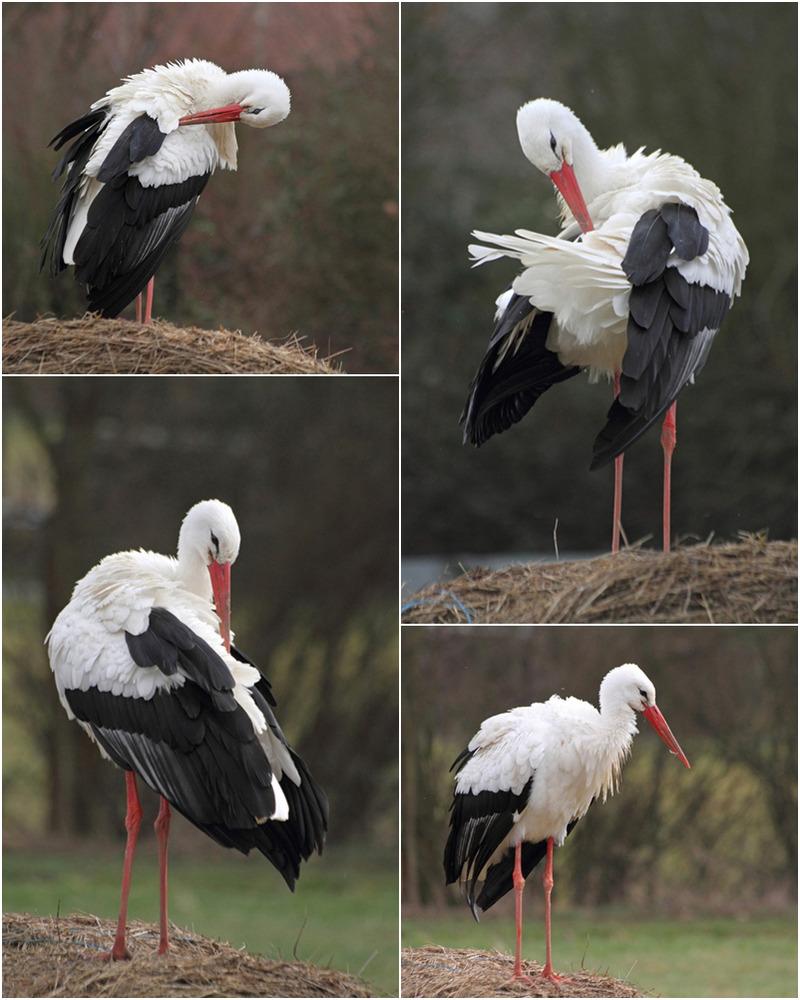 klapperstorch foto  bild  tiere wildlife wild lebende
