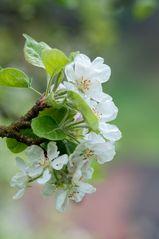 Klarapfelblüte