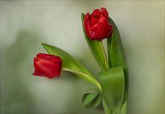Klassisch - einfach rote Tulpen...