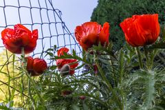 Klatschmohn am Gartenzaun