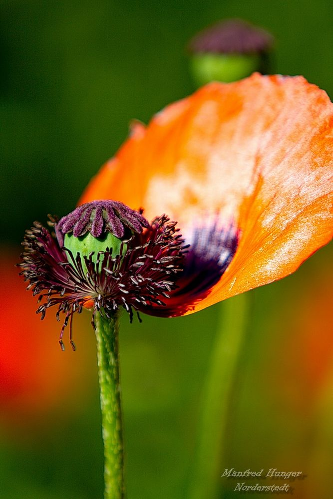 Klatschmohn - Das letzte Blütenblatt