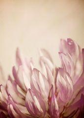 Klee Blüte