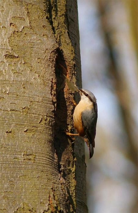 Kleiber beim Nestbau