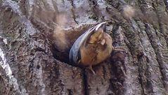 Kleiber halb in seiner Nesthöhle