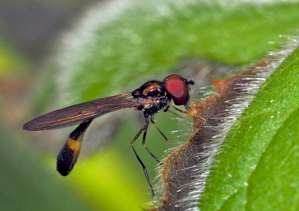 Klein aber fein, eine Gemeine Schattenschwebfliege (Baccha elongata)! *