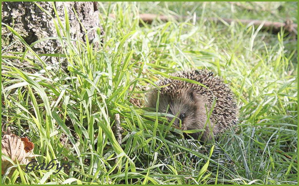 klein igel foto  bild  tiere wildlife säugetiere