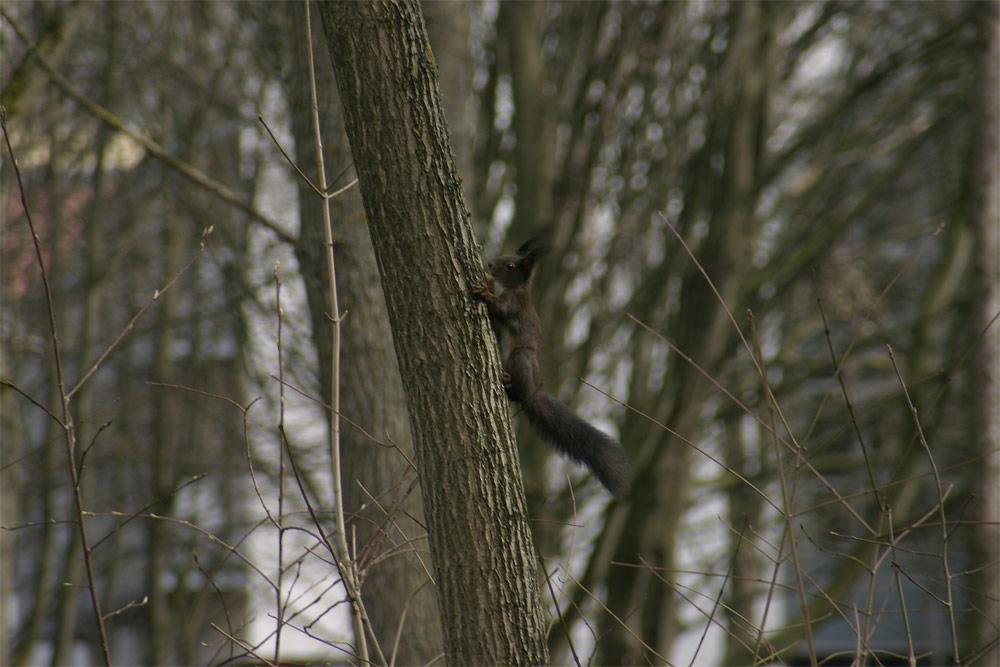 Klein Robert jagt das Eichhörnchen...