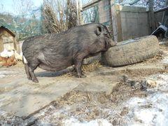 klein -schweini im winterpelz
