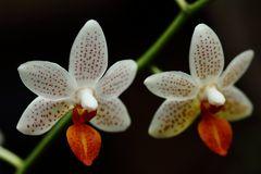 kleinblütige Phalaenopsis