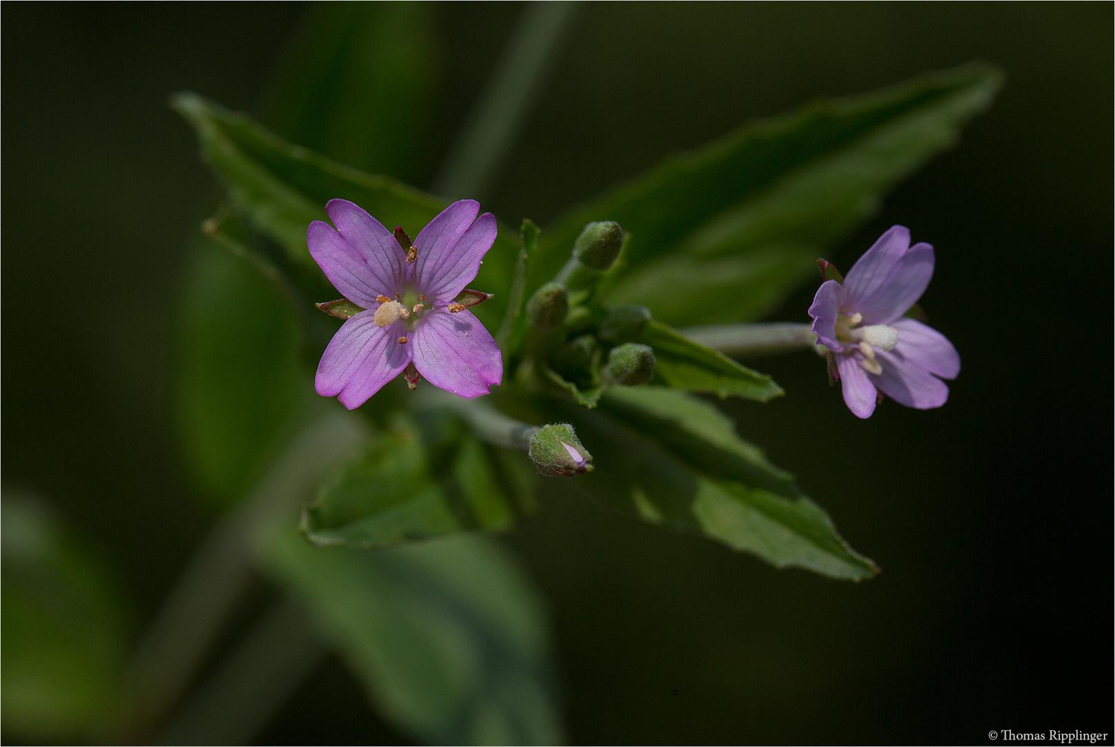 Kleinblütige Weidenröschen (Epilobium parviflorum) 5457