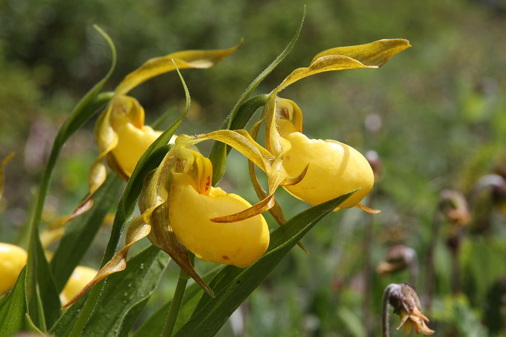 Kleinblütiger Frauenschuh, Large Yellow Lady Slipper - Cypripedium parviflorum var. pubescens