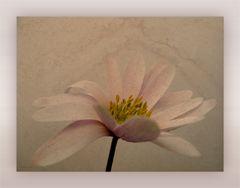 ... kleine anemone ...