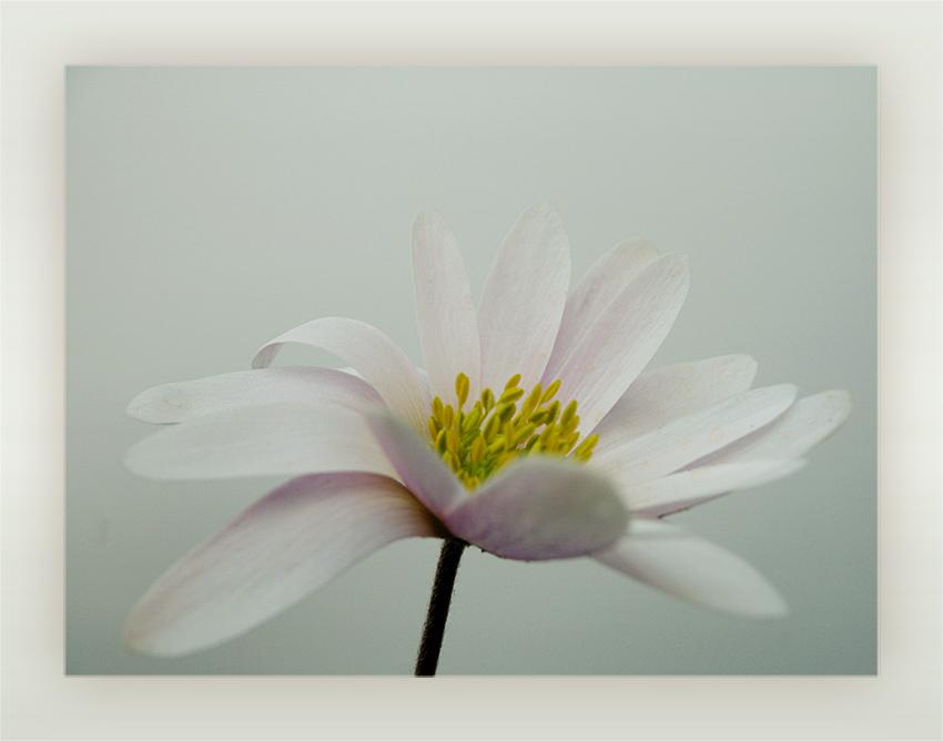 ... .kleine anemone. ...
