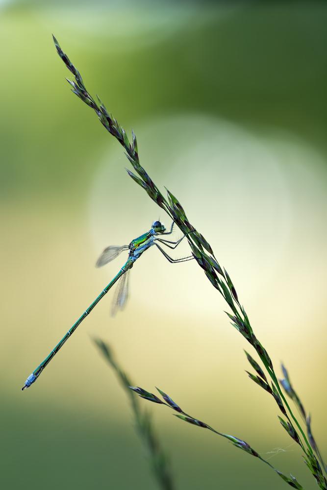 kleine Binsenjungfer (Lestes virens)