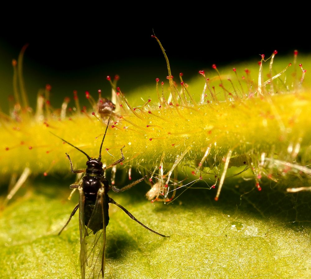 Kleine Blattlaus ganz groß