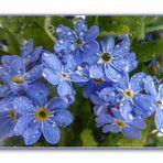 Kleine blaue Blüten ganz groß....