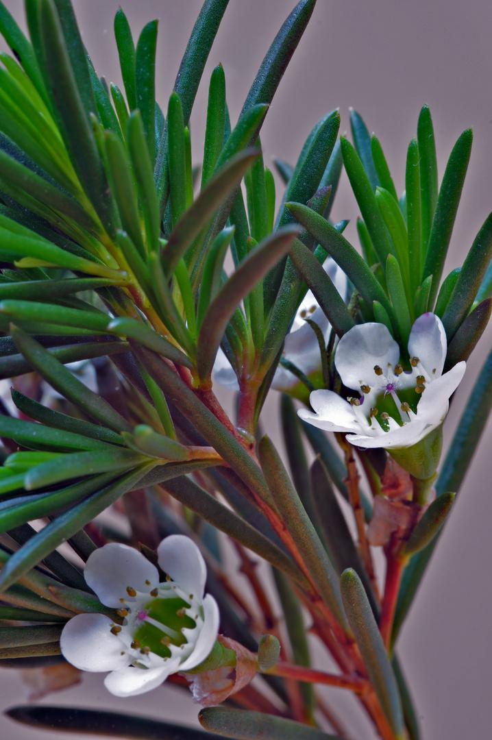 Kleine Blüten am Zweig eines Nadelbaums?