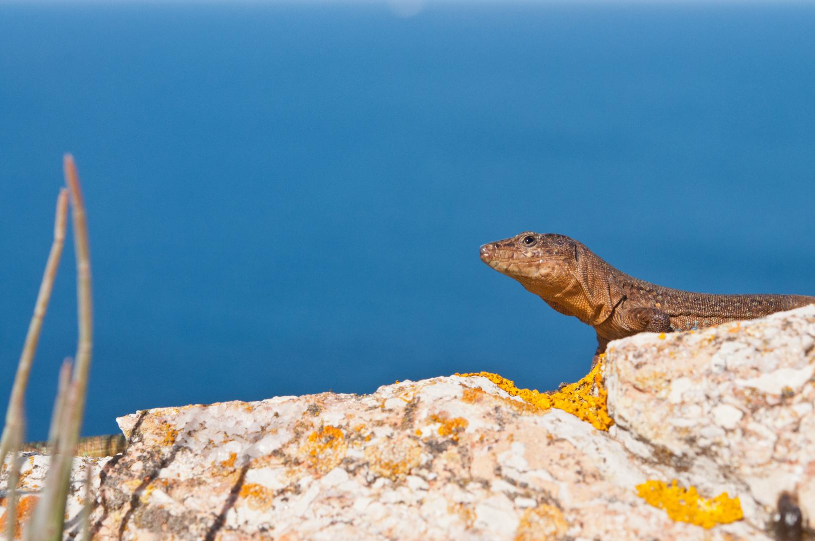 Kleine Drachen auf der Dracheninsel (Mallorca)