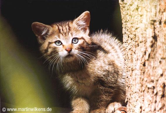 Kleine europäische Wildkatze