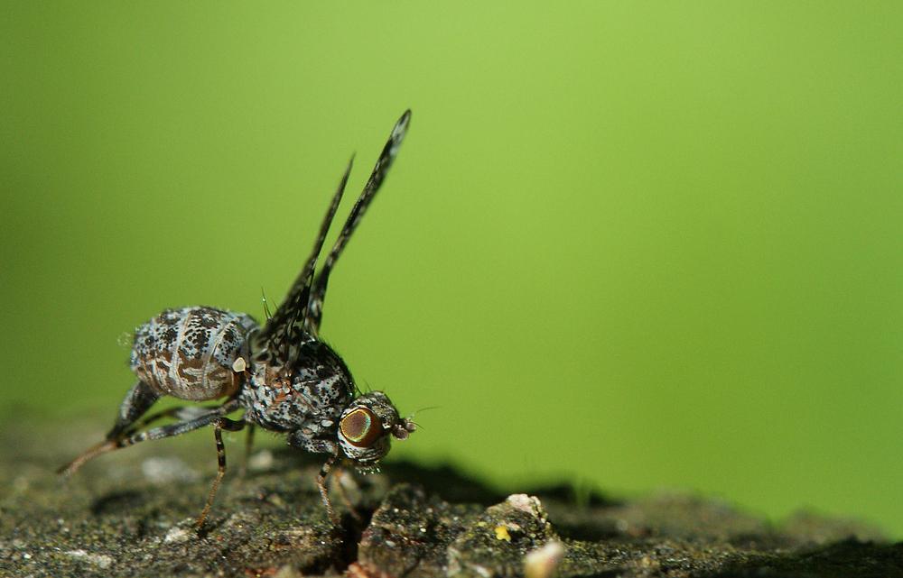 Kleine Fliege
