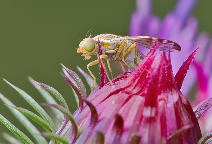 Kleine Fliege auf Distel