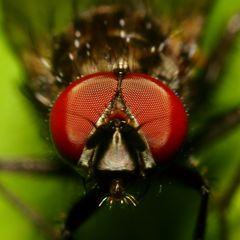 Kleine Fliege - Detail