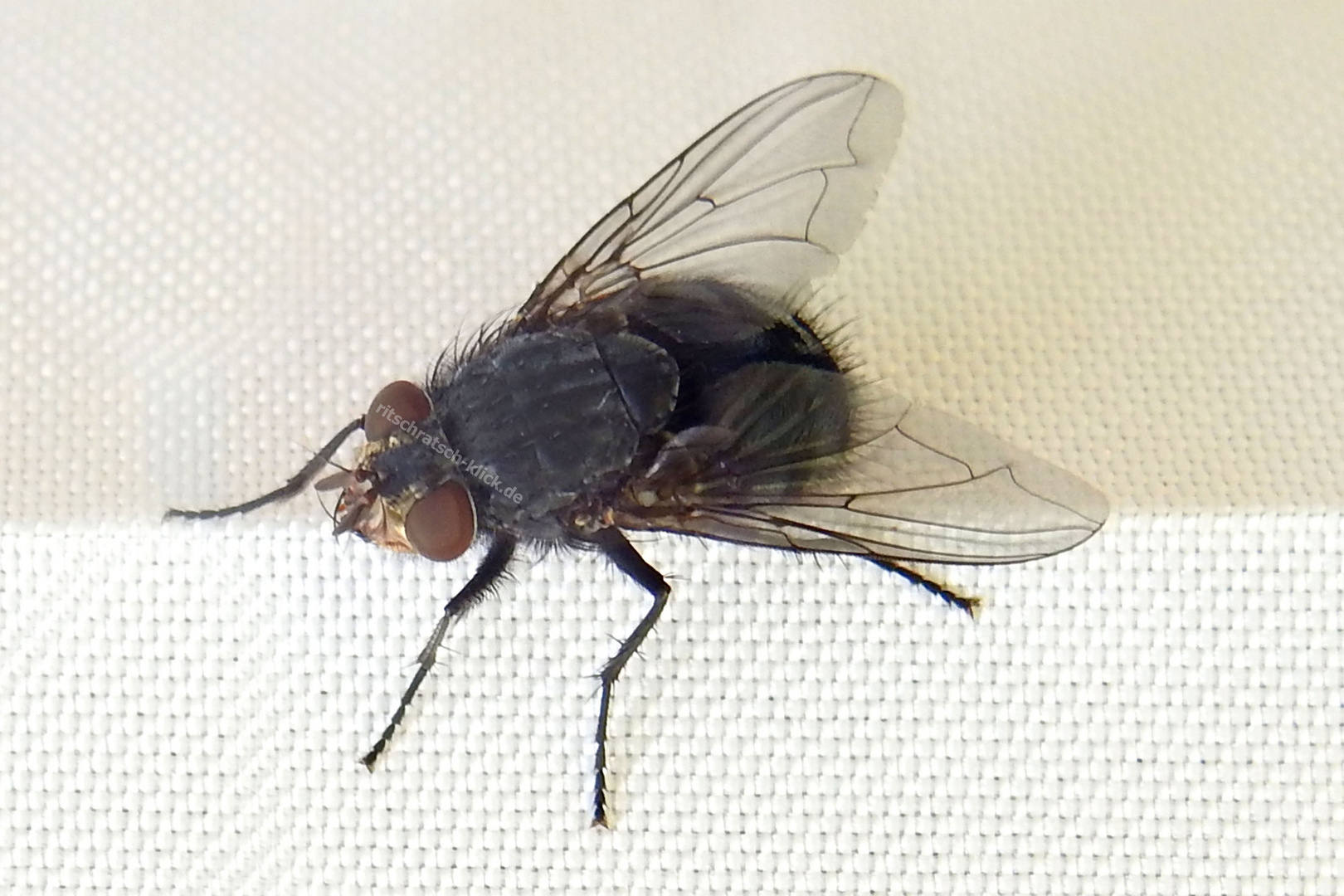 Kleine Fliege - ganz groß