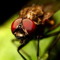 Kleine Fliege (I)