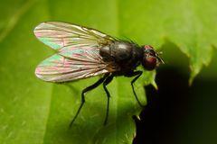 Kleine Fliege (II)