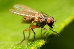 Kleine Fliege (III)
