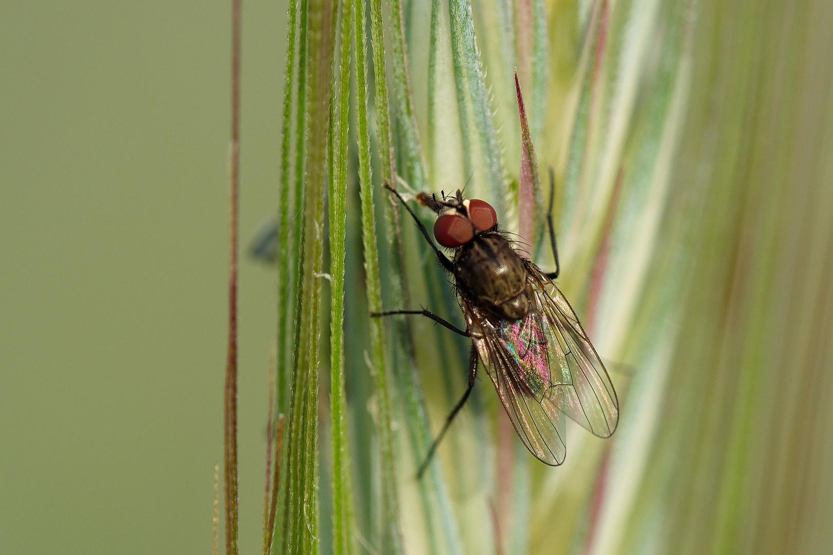 Kleine Fliege im Kornfeld