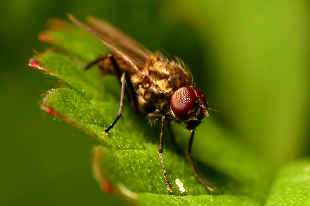 Kleine Fliege (IV)