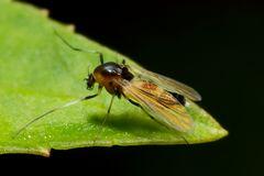 Kleine Fliege/Mücke