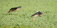 Kleine Flugstudie von den Nilgänse