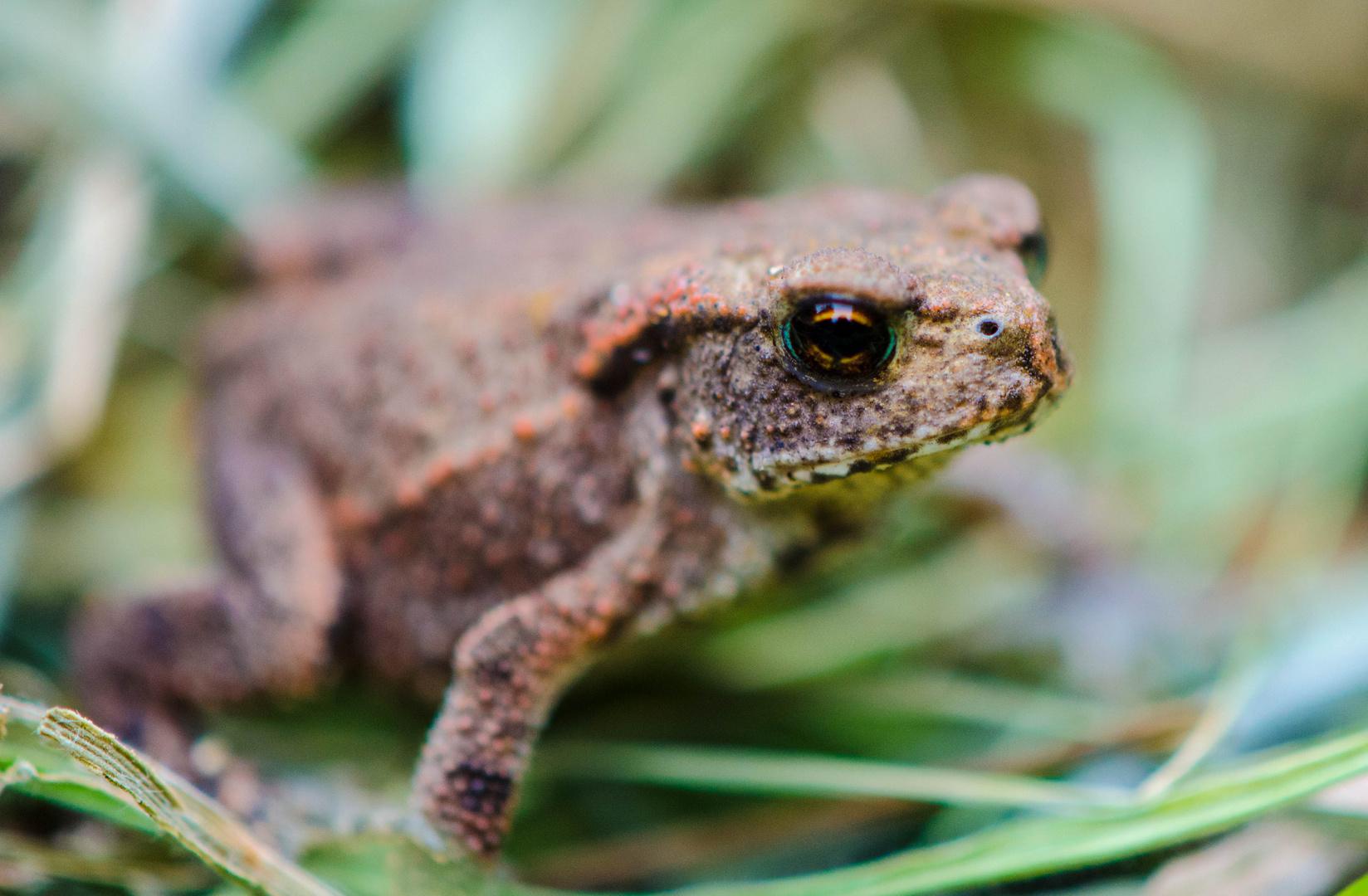 Kleine Frosch