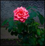 Kleine Gartenrose