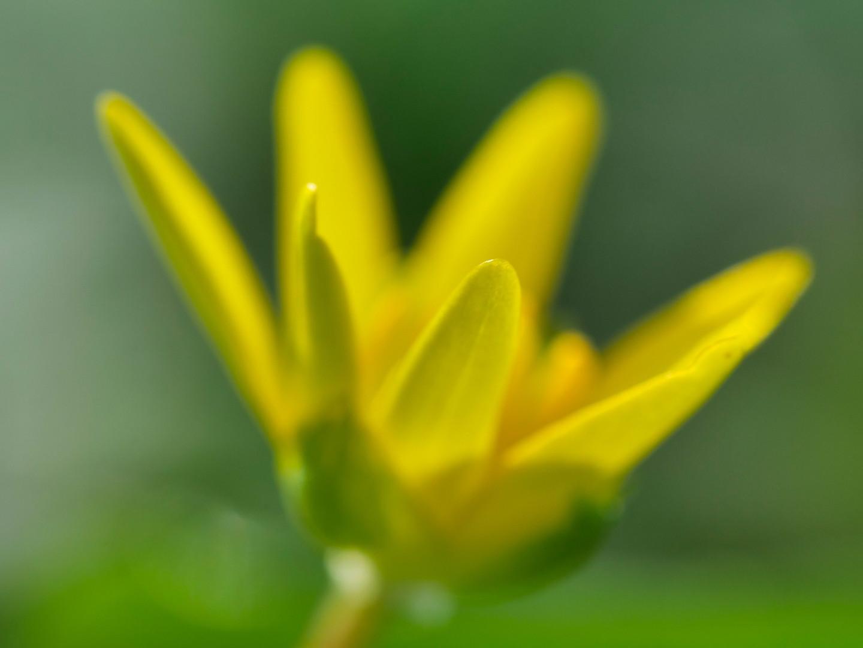 Kleine gelbe Schönheit