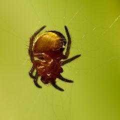 Kleine gelbe Spinne
