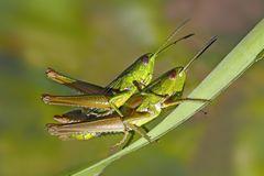 Kleine Goldschrecke (Euthystira brachyptera).  - Le Criquet des genévriers.