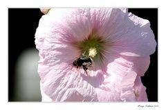 Kleine Hummel große Blüte